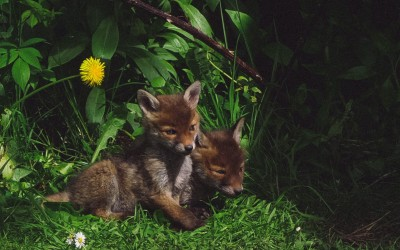 Fox cubs in South Avenue garden by Roger McGrath