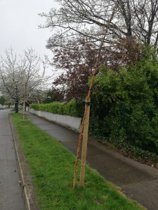 Photo of new trees planted on Wilson Road