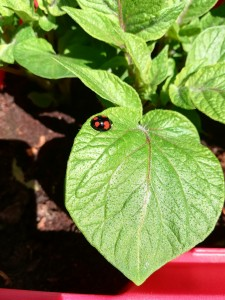 A nice specimen of form spectabilis of the harlequin ladybird!