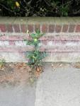 img_20200517_garden-wall-weeds
