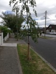 redesdale_trees