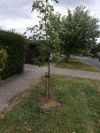 New tree in need of daily watering, Trees Road near The Rise