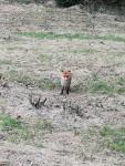 Fox on Wilson Road, April 2020