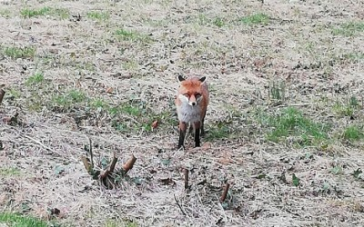 Fox on Wilson Road, April 2020. Photo by Nicola Heather.
