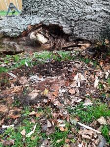 Old Oak Tree - dead inside