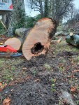 East Avenue Beech tree felled due to disease