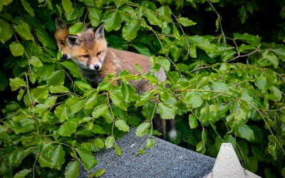Fox cubs in garden on Redesdale Road photo by Crispin Rodwell May 2020