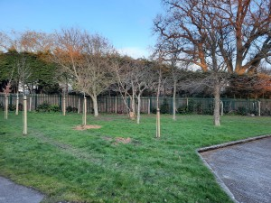 Cherrygarth Green 6 new trees planted March 2020