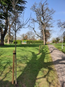 New Oak Trees planted by dlrcc in Deerpark April 2021