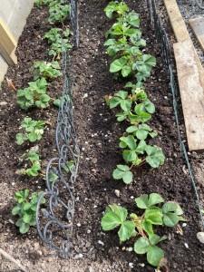 May 2021 - Vegetable seedlings