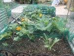 netting is essential to deter the pigeons from cabbages!