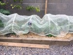 The polytunnel type netting also wards off the birds